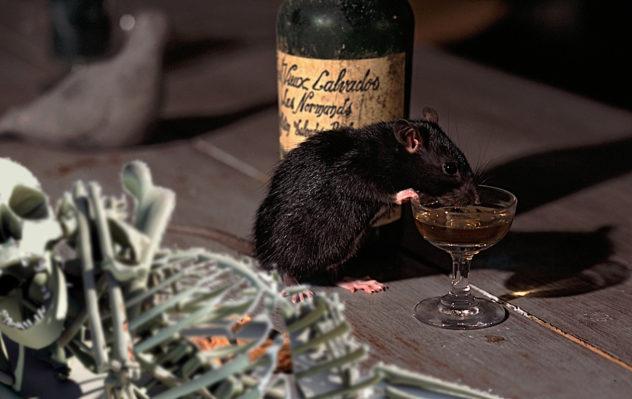 CT4DKB BROWN RAT